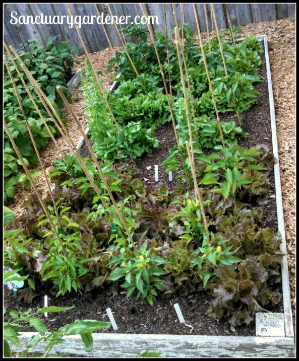 Bed 10 in June 2015 ~ Sweet peppers & lettuce