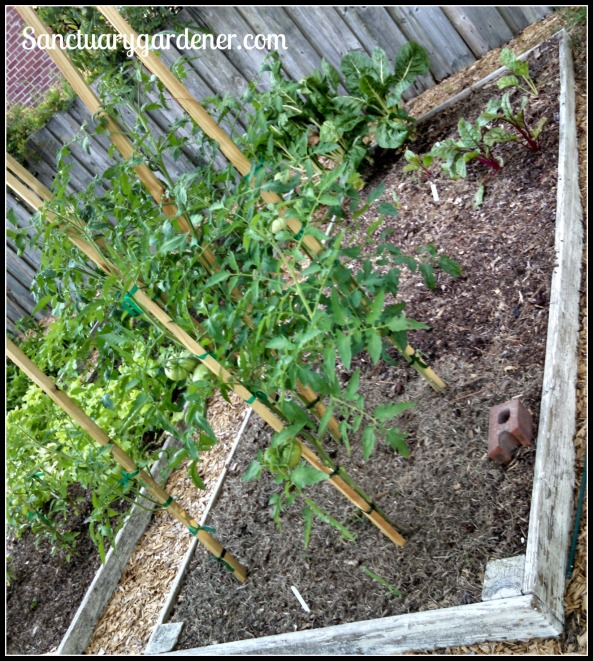 Bed 12 in June 2015 ~ Chard & slicing tomatoes