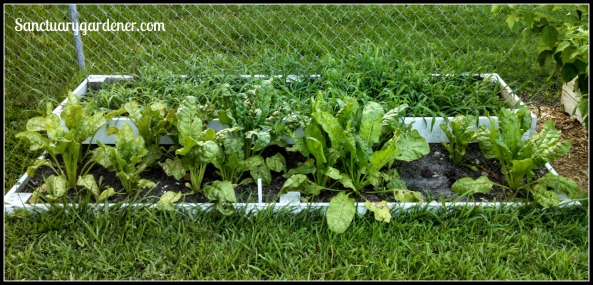 Bed 12x in June 2015 ~ Fallow & perpetual spinach