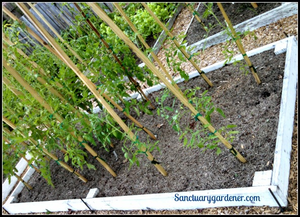 Bed 15 in June 2015 ~ Paste tomatoes