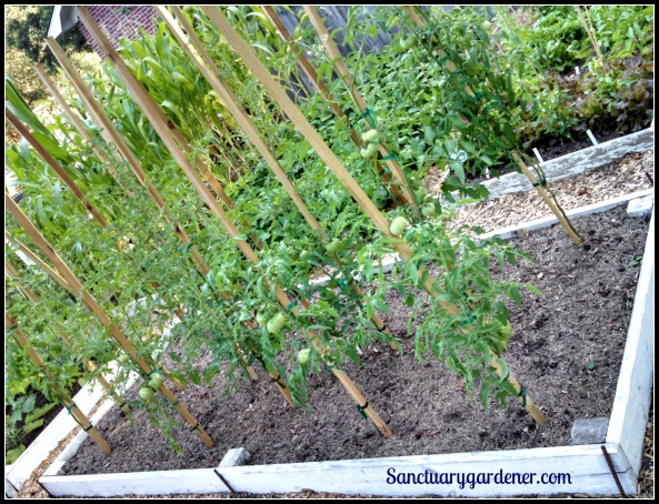 Bed 16 in June 2015 ~ Slicing & cherry tomatoes