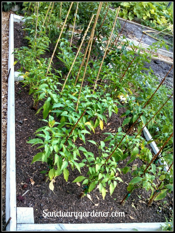 Bed 18 in June 2015 ~ Chili peppers