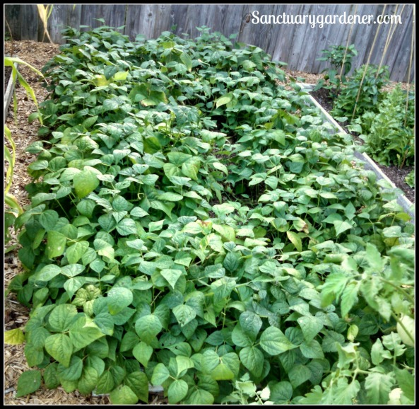 Bed 9 in June 2015 ~ Snap beans