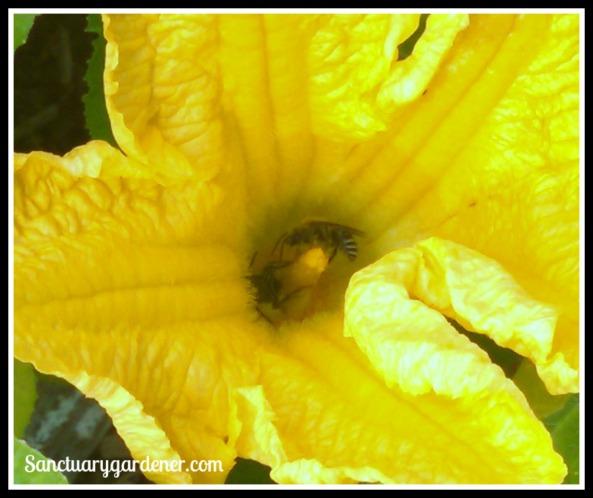 Bees inside squash flower
