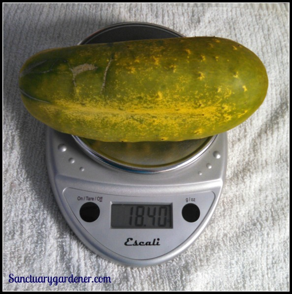Forgotten pickling cucumber