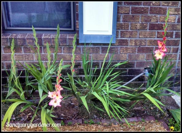 Gladioli along my house