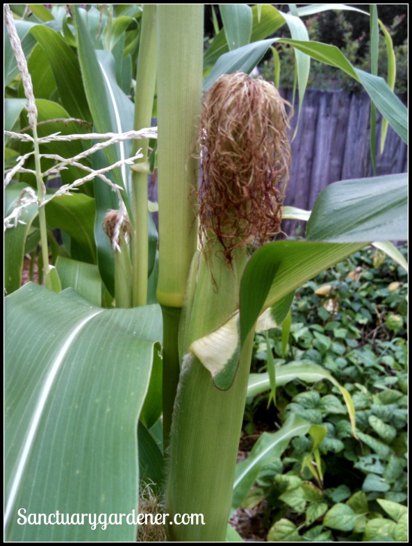 Glass Gem corn ear