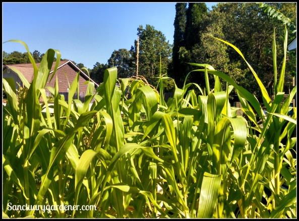Glass Gem corn tassels