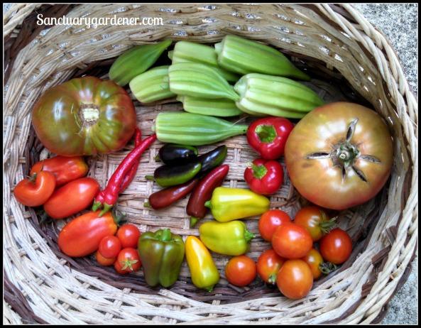 Star of David okra, Cherokee purple tomato, Reisentraube cherry tomatoes,