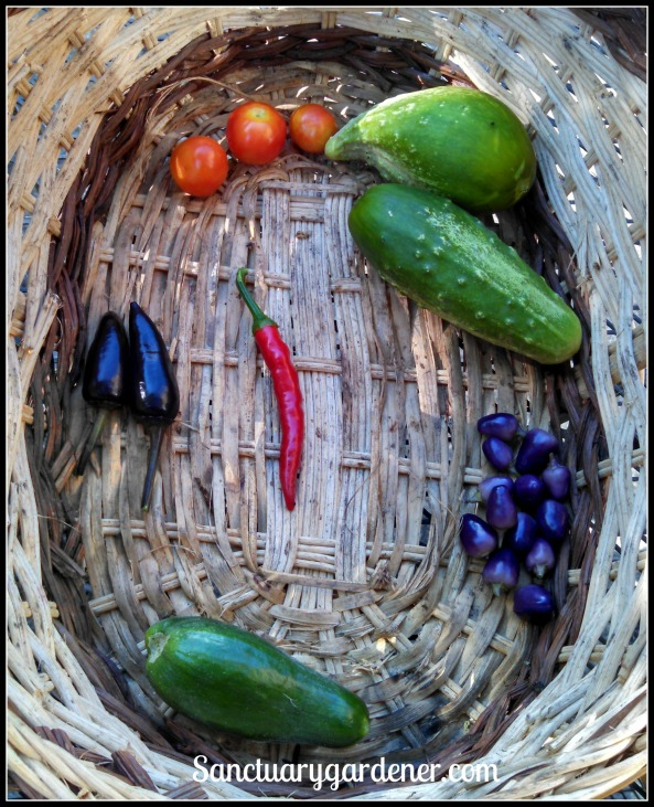 From top, clockwise: Tiny Tim tomatoes, Boston pickling cucumbers, Filius Blue peppers, Beit Alpha cucumber, Black Hungarian peppers. Center: Cayenne pepper
