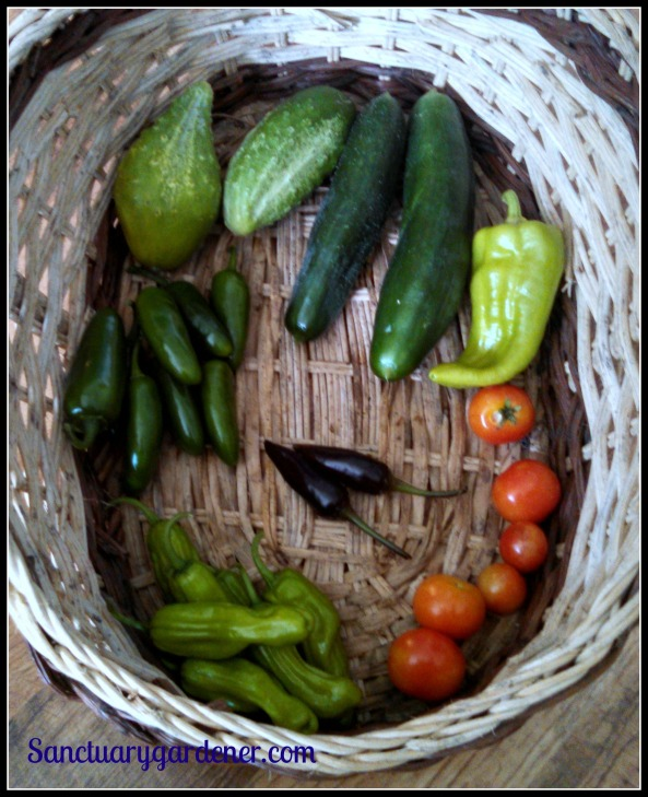 From the top, clockwise: Boston pickling cucumbers, Beit Alpha cucumbers, cubanelle pepper, Tiny Tim tomatoes, pepperoncini, jalapenos. Center: Black Hungarian peppers