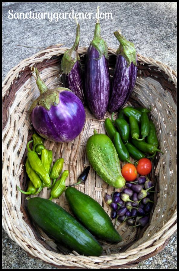 Rosa Bianca eggplant, Edirne Striped eggplant,