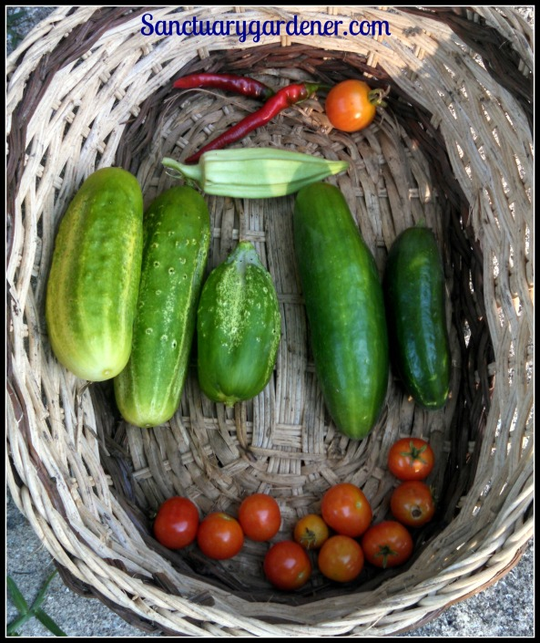 Cayenne peppers, Riesentraube tomato, Beit Alpha cucumbers, Tiny Tim tomatoes, Boston pickling cucumbers, Star of David okra