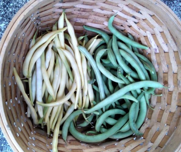 Beurre de Rocquencourt wax beans & Black Valentine green beans