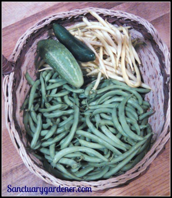 From top: Boston pickling cucumber, Beit Alpha cucumber, Beurre de Rocquencourt wax beans, Black Valentine green beans