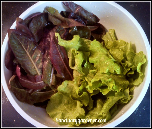 Red Romaine & Black Seeded Simpson lettuce