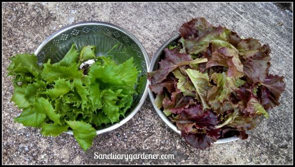 Reine des Glaces & Red Sails lettuce