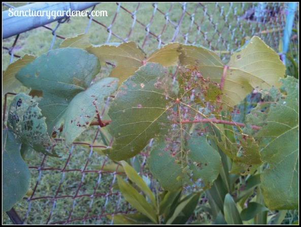 Japanese Beetle damage on a Concord grape vine