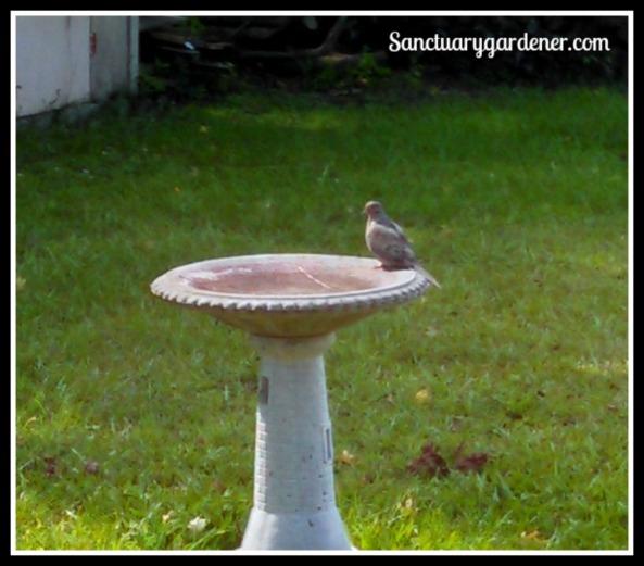 Mourning dove on my bird bath