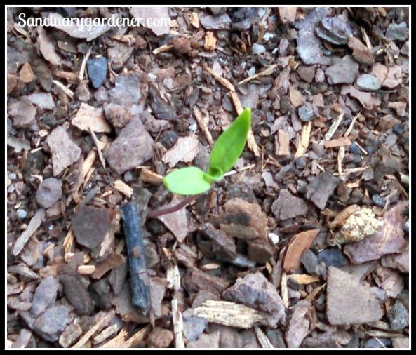 Lemon Drop pepper seedling