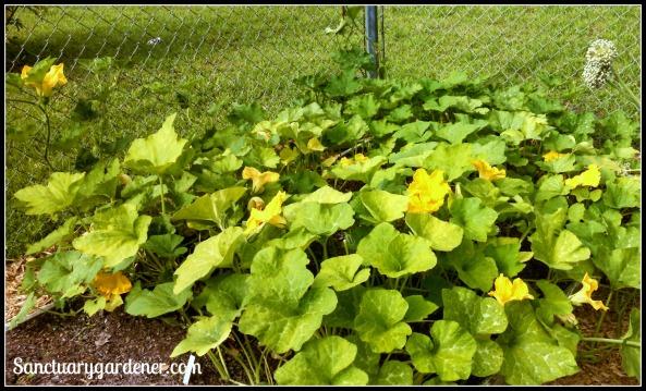 Squash blooming