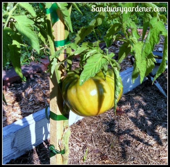 Black Krim tomato ripening