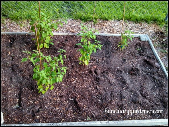 Bed 1 in July 2015 ~ Chili peppers