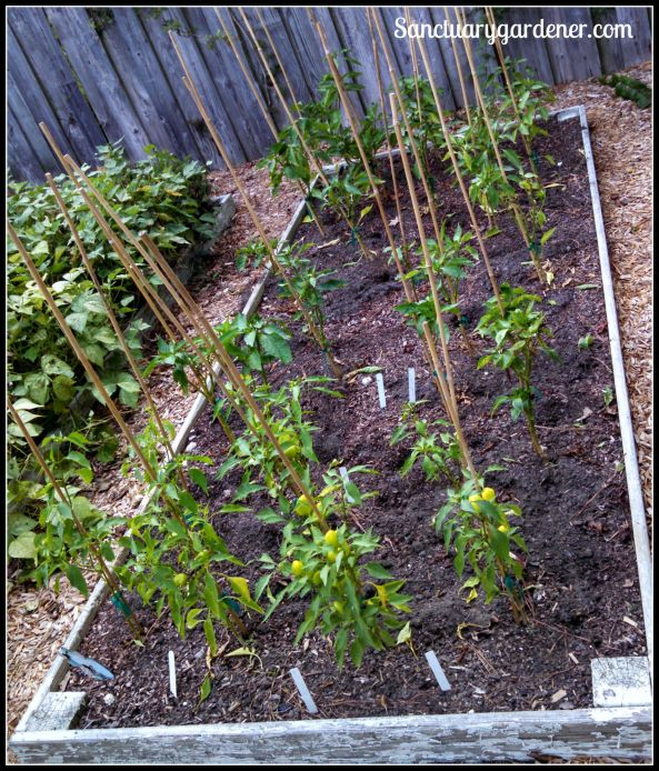 Bed 10 in July 2015 ~ Sweet peppers