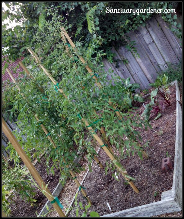 Bed 12 in July 2015 ~ Chard & slicing tomatoes