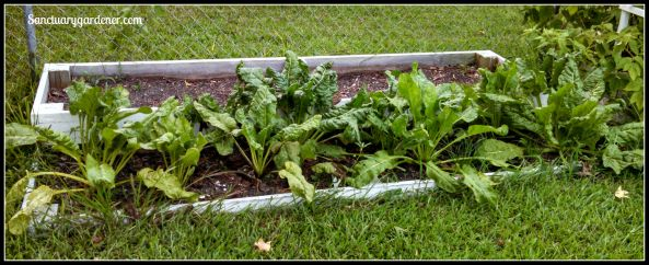 Bed 12x in July 2015 ~ Perpetual spinach & fallow
