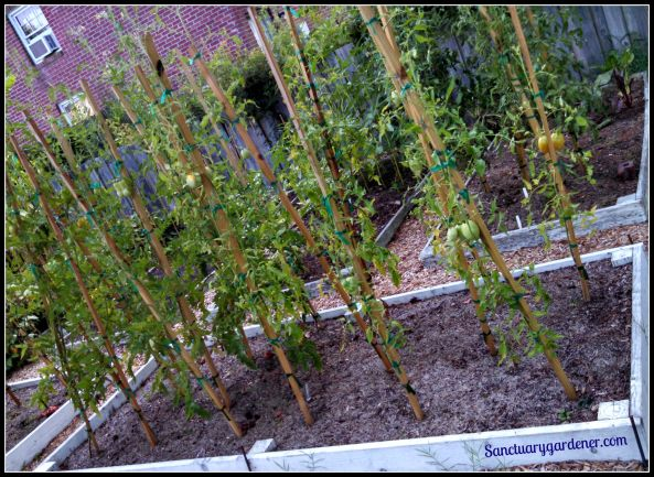 Bed 15 in July 2015 ~ Paste tomatoes