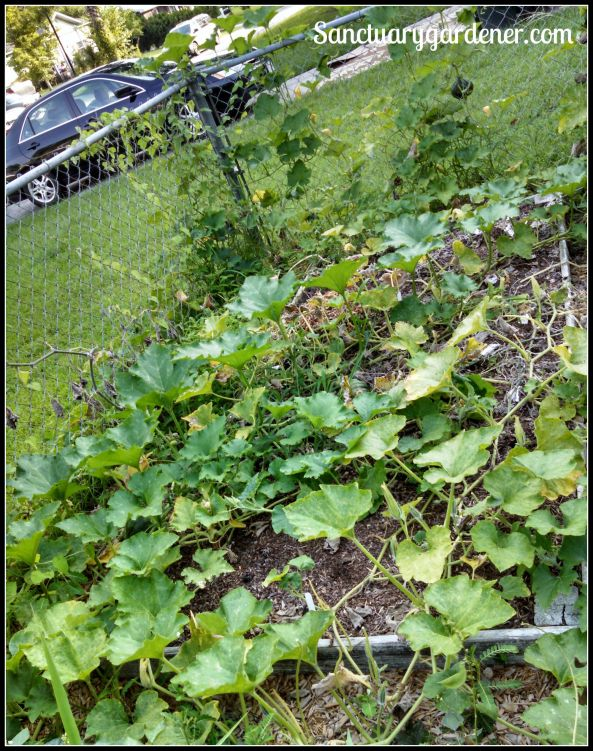 Bed 3 in July 2015 ~ Squash & pumpkins