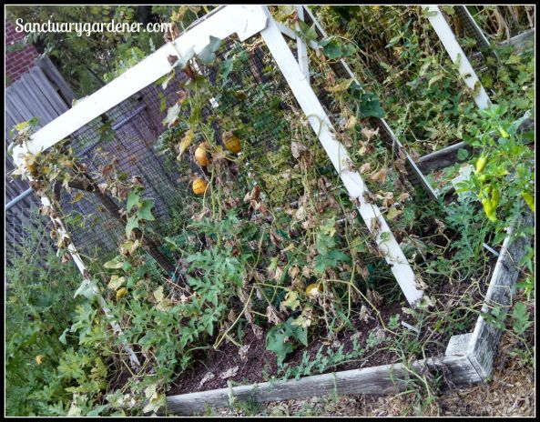 Bed 6 in July 2015 ~ Cucumbers & melons
