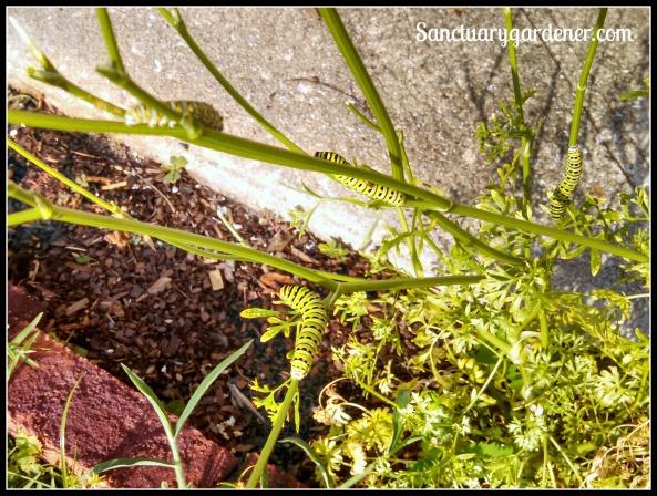 4 Black Swallowtail caterpillars on parsley