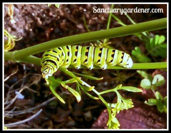 Closeup of a Black Swallowtail caterpillar