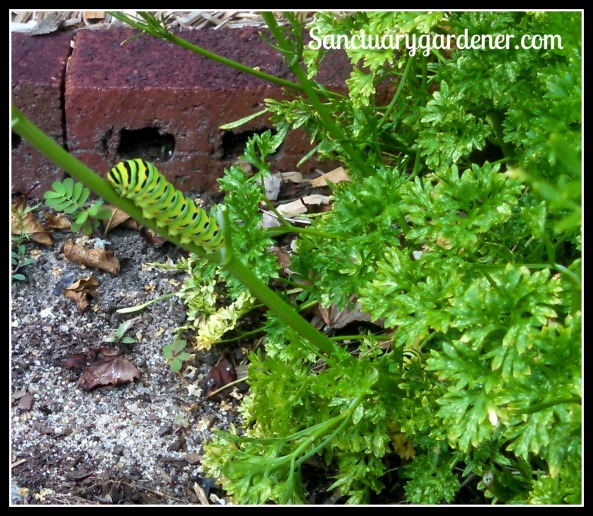2 Black Swallowtail caterpillars on parsley (one is partially hidden)