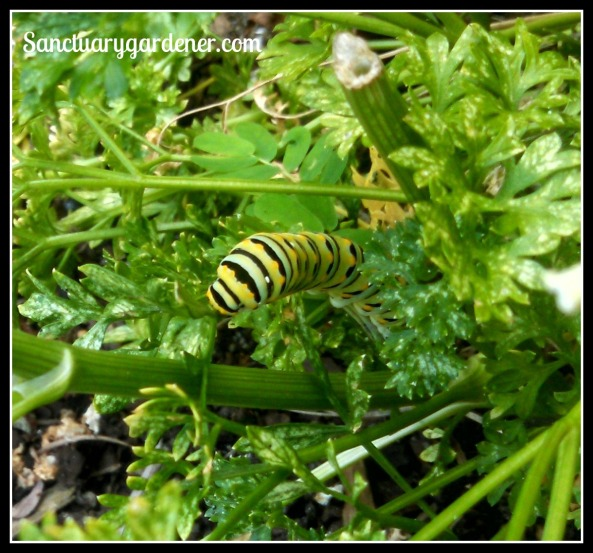 Black Swallowtail caterpillar munching on parsley