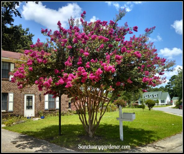 Crepe myrtle tree in bloom