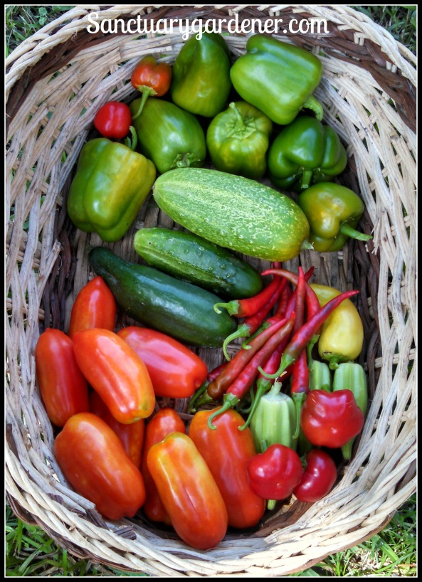 Emerald Giant peppers,