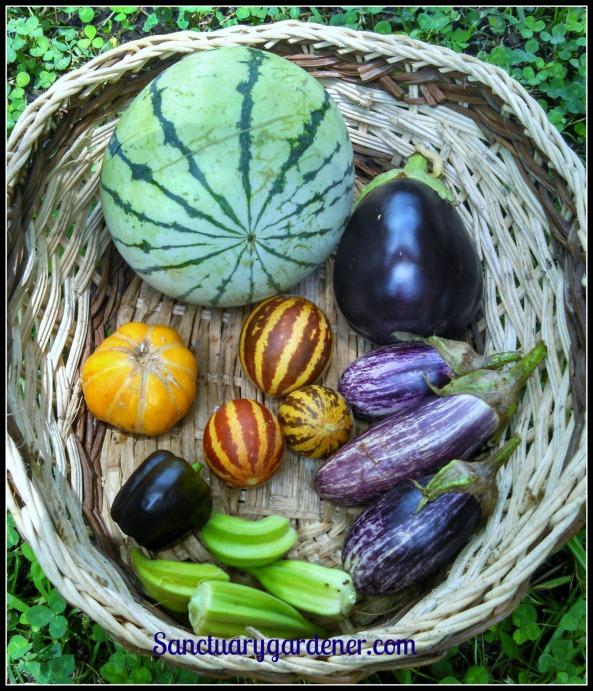 Cream of Saskatchewan watermelon, Black Beauty eggplant, Edirne Striped eggplant, Star of David okra, Purple Beauty bell pepper, Noir de Carmes melon (overripe!). Center: Rich Sweetness melons