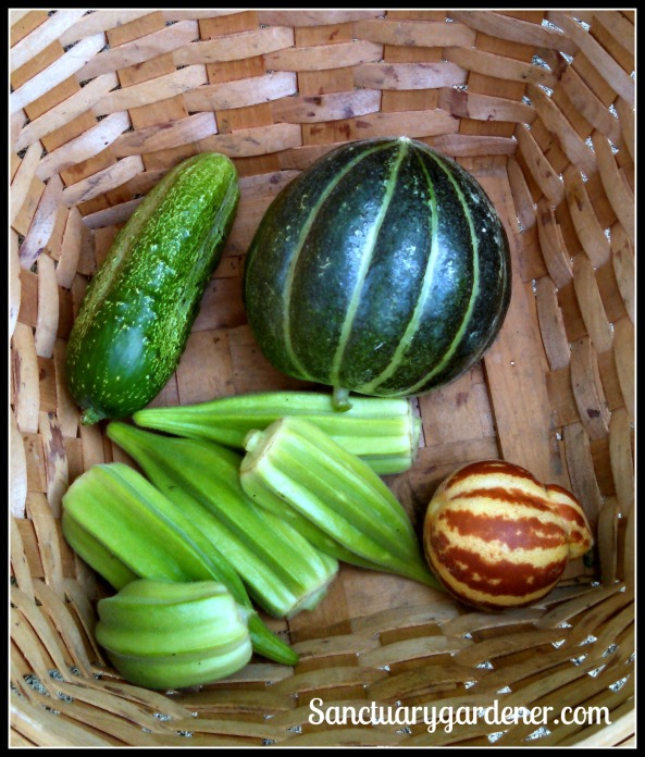 Noir de Carmes melon (properly ripe), Rich Sweetness melon, Star of David okra, Boston Pickling cucumber