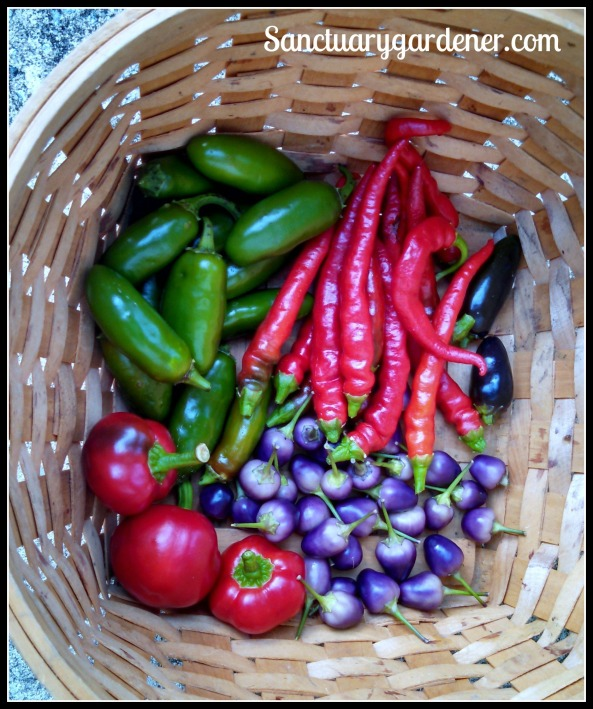 Peppers: Jalapenos, Cayenne, Black Hungarian, Filius Blue, Hot Cherry