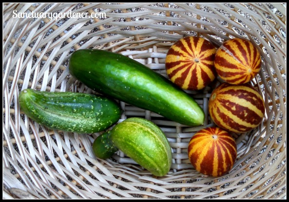 Beit Alpha cucumber, Rich Sweetness melons, Boston Pickling cucumbers
