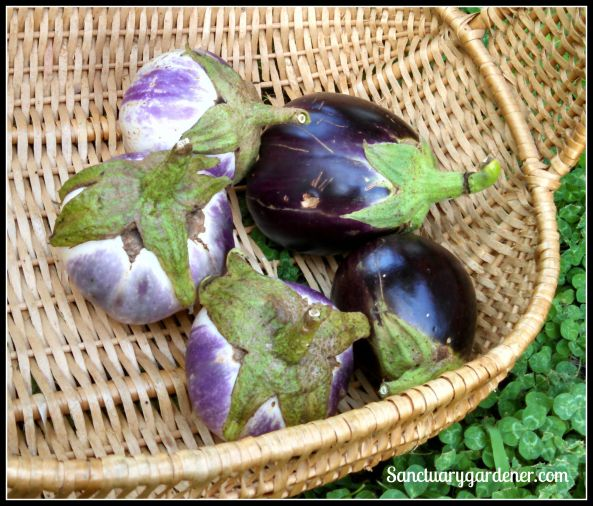 Rosa Bianca eggplant (left) & Black Beauty eggplant (right)