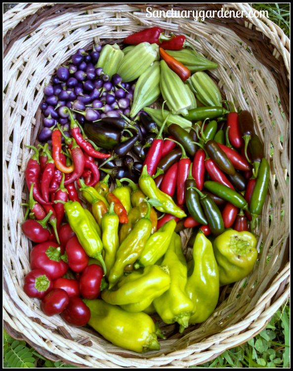 Fish peppers, Star of David okra,