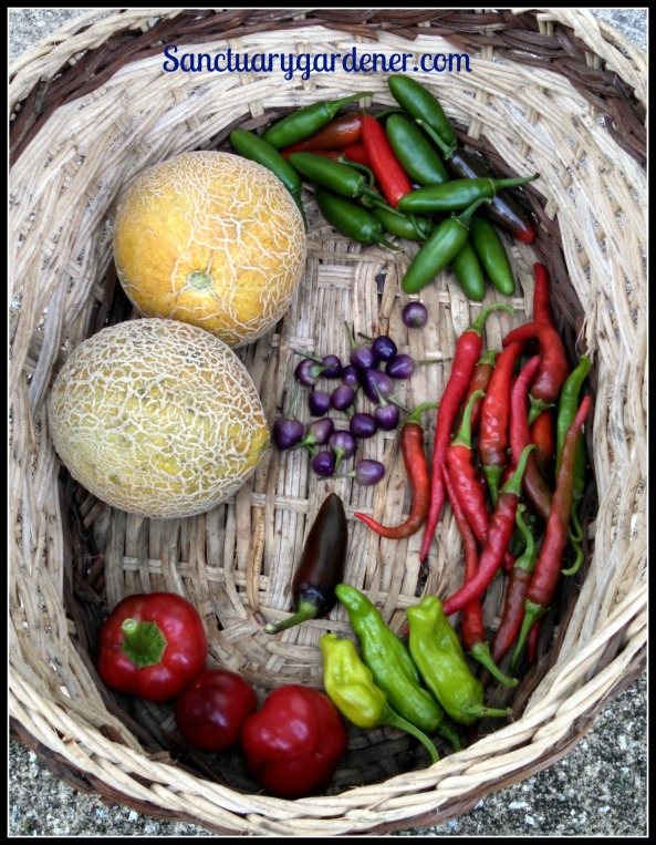 Serrano peppers, cayenne peppers, pepperoncini, hot cherry peppers, Green Machine/Ice Cream melons. Center: FIlius Blue peppers, Black Hungarian pepper