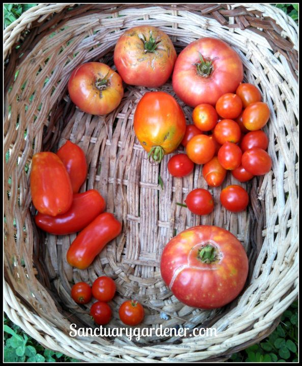 Tomatoes: Mortgage Lifter, Riesentraube cherry, Pink Brandywine, Tiny Tim, San Marzano. Center top: Amish Pastte