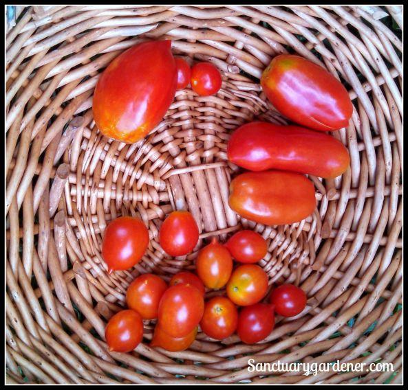 Tomatoes: Amish Paste, Tiny Tim, San Marzano, Riesentraube