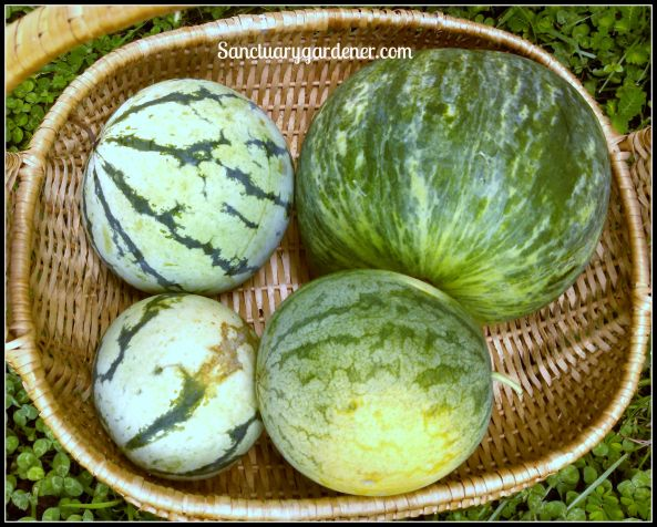 Watermelons: (Starting at top right) Wilson Sweet, Strawberry, Cream of Saskatchewan