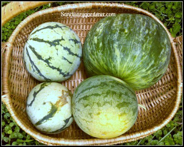 Watermelons: (Starting at top right) Wilson Sweet, Strawberry, Cream of Saskatchewan